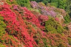 De vallei van gebloeide rhodondendros in het natuurreservaat van het Burcina-park in Pollone/Biella/Piemonte/Italië Royalty-vrije Stock Fotografie
