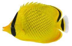 De van tralies voorzien vissen van de Vlinder. Rafflesi van Chaetodon Stock Afbeeldingen