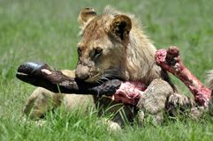 De vangst van de leeuw. Royalty-vrije Stock Fotografie