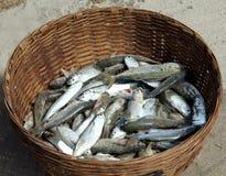 De vangst van vissen Royalty-vrije Stock Foto's