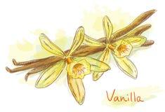 De vanille van de bloem met droge peulen. Royalty-vrije Stock Afbeelding
