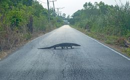 De Varanus rampement lentement sur la route, foyer sélectif photo libre de droits