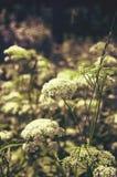 De varen plant dicht omhoog Mooie zomer-specifieke foto Kleine witte bloemen en bladeren die op takken groeien Blauwe hemelbedela Stock Foto
