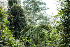 De varen van de boom in het regenwoud van Australië Stock Afbeeldingen