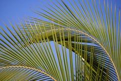 De Varenbladen van de palm Stock Foto's
