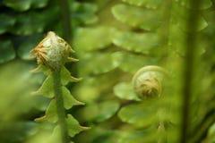 De varenbladen van de Unfurlingsvaren Stock Fotografie