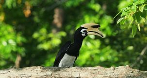 De varios colores-Hornbill oriental - pájaro grande que pertenece al Bucerotidae, jerarquización de los albirostris de Anthracoce almacen de video