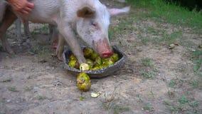 De varkens eten appelen van het bassin stock footage