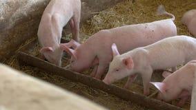 De varkens eten van trog stock footage
