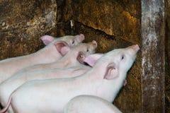 De varkens likken een muur Royalty-vrije Stock Fotografie