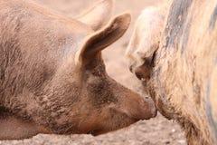 De varkens van Tamworth stock foto's