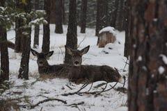 De vastgezette rust van muilezelherten tijdens wintermaanden Stock Fotografie