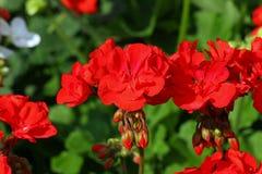 De vazen van de geraniumbloem voor verkoop bij een bloemistwinkel Royalty-vrije Stock Afbeeldingen