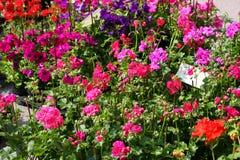 De vazen van de geraniumbloem voor verkoop bij een bloemistwinkel Stock Afbeeldingen