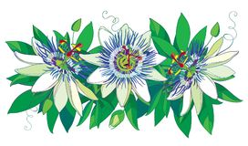 De vector horizontale slinger met overzichts tropische blauwe die Passiebloem of Hartstocht bloeit, knop, bladeren en rank op whi stock illustratie