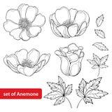 De vector met de bloem of Windflower van de overzichtsanemoon wordt, ontluikt en bladeren in zwarte op witte achtergrond wordt ge stock illustratie