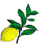 De vector tak van de citroenboom Royalty-vrije Stock Foto's