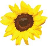 De vector van de zonnebloem Stock Foto's