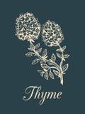 De vectorillustratie van de thymetak met bloemen Hand getrokken botanische schets van aromatische plant Kruid op donkere achtergr Royalty-vrije Stock Foto