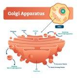 De vectorillustratie van Golgiapparaten Geëtiketteerde microscopische regeling en diagram met reservoirs, lumen, secretorisch het royalty-vrije illustratie