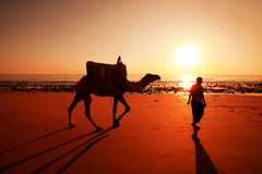 De Veedrijver met een kameel bij zonsondergang in de woestijn Stock Foto
