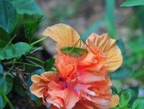 De veenmolzitting van de Katydidstruik op een buitensporige hibiscusbloem Stock Fotografie