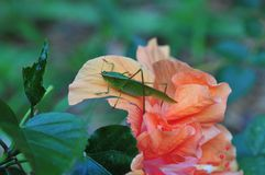 De veenmolzitting van de Katydidstruik op een buitensporige hibiscusbloem Stock Foto