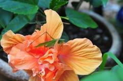 De veenmolzitting van de Katydidstruik op een buitensporige hibiscusbloem Royalty-vrije Stock Foto
