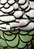 De veer van de fazant Stock Foto
