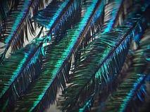 De Veer van de pauw royalty-vrije stock afbeelding