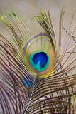 De Veer van de pauw Stock Afbeeldingen