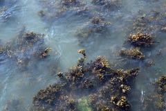 De vegetatie van het zeewier Stock Foto's