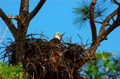 De Veiligheid die van het geboorteland - het nest bewaakt Stock Afbeelding