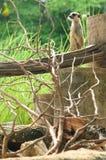 De veiligheidstoezicht van Meerkat beware stock afbeeldingen