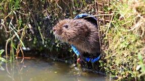 De Veldmuis van het water Stock Foto's