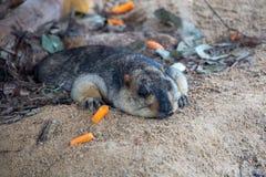 De veldmuizen zijn een groep hamsters, met inbegrip van vijf soorten Vergeleken met andere muizen, zijn de veldmuizen meer vast l stock fotografie
