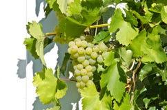 ` de Veltliner del verde del ` de las uvas Imagenes de archivo