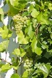 ` de Veltliner del verde del ` de las uvas Foto de archivo
