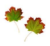 De veranderende kleur van het esdoornblad in daling Stock Foto's