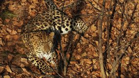 De verbazende amur luipaard ligt op droge bladeren in Primorsky Safari Park, Rusland stock video