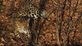 De verbazende amur luipaard ligt op droge bladeren in Primorsky Safari Park, Rusland stock videobeelden