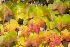 De verbazende de herfstachtergrond met Victoria-klimplant vijf-leaved klimop verlaat het kruipen op witte muur in zonlicht met di Stock Foto
