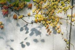 De verbazende de herfstachtergrond met Victoria-klimplant vijf-leaved klimop verlaat het kruipen op witte muur in zonlicht met di Royalty-vrije Stock Foto's