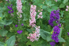 De verbazende roze en purpere bloemen zijn als kaarsen Royalty-vrije Stock Afbeelding