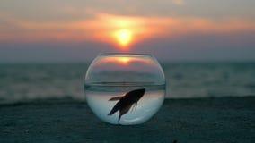 De verbazende scène maakte aquarium rond die zich op de strandvlotter weinig vis Betta bevinden splendens weerspiegelde hemel en  stock footage
