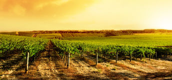 De verbazende Zonsondergang van de Wijngaard Royalty-vrije Stock Fotografie