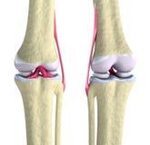 De verbinding van de knie met ligamenten en kraakbeenderen Royalty-vrije Stock Afbeelding