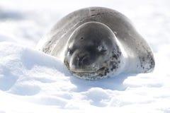 De Verbinding van de luipaard op icerberg, Antarctica Royalty-vrije Stock Foto's