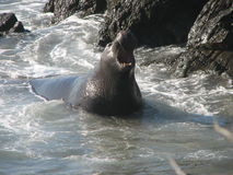 De Verbinding van de olifant Royalty-vrije Stock Afbeelding