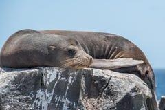 De Verbinding van de Galapagos het ontspannen op rots stock afbeelding